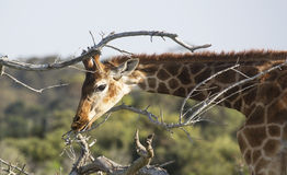Jonge giraf die takjes eten Stock Afbeelding