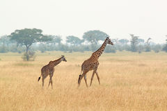 Jonge giraf en moeder royalty-vrije stock afbeelding