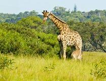 Jonge giraf en moeder Royalty-vrije Stock Fotografie