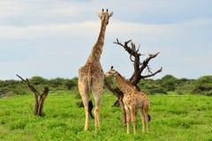 Jonge giraf met mum royalty-vrije stock afbeelding