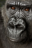 Jonge Gorilla Silverback Stock Afbeelding