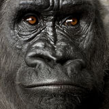 Jonge Gorilla Silverback Royalty-vrije Stock Afbeelding