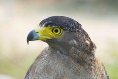Jonge gouden adelaar stock afbeeldingen