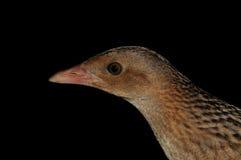 Jonge Graan crake vogel royalty-vrije stock fotografie