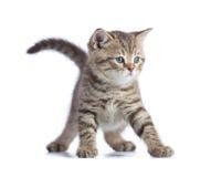 Jonge grappige katten vooraanzicht geïsoleerde status Stock Foto's
