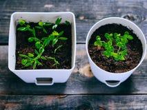 Jonge greens in potten, spruiten van basilicum en koriander royalty-vrije stock foto's