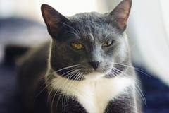 Jonge grijze bastaarde kat met het gele ogen liggen royalty-vrije stock afbeelding