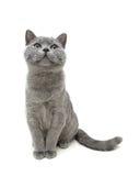 Jonge grijze die kattenzitting op witte achtergrond wordt geïsoleerd als achtergrond Royalty-vrije Stock Foto's