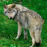 Jonge Grijze Wolf Stock Afbeelding