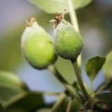 Jonge groene appelvruchten op een tak stock foto