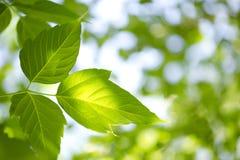 Jonge groene bladeren royalty-vrije stock afbeeldingen