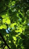 Jonge groene bladeren stock afbeelding