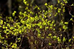 Jonge groene bladeren Royalty-vrije Stock Fotografie