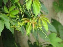 Jonge groene bladeren Stock Foto's
