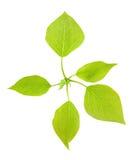 Jonge groene bladeren van een populier. Stock Afbeeldingen
