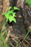 Jonge groene boom op de oude stomp stock foto