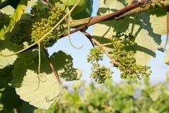 Jonge groene druif op wijnstok Royalty-vrije Stock Fotografie