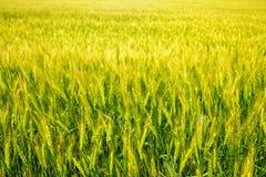 Jonge groene en gele tarwe Stock Foto's