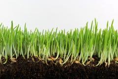 Jonge groene gerst met zaden en wortels Royalty-vrije Stock Foto's