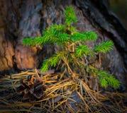 Jonge groene kleine sparren die in het bosclose-up groeien royalty-vrije stock afbeelding