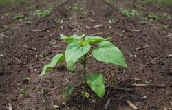 Jonge, groene, onontloken zonnebloemen die in ingetrokken, aba groeien Royalty-vrije Stock Afbeelding