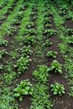 Jonge groene ontsproten aardappelspruiten op het gebied royalty-vrije stock fotografie