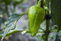Jonge groene paprika's met dalingen van water Stock Foto's