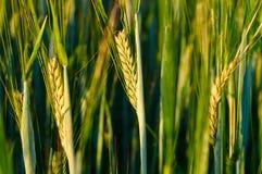 Jonge groene roggekorrels op het gebied Natuurlijk graan die groeien Royalty-vrije Stock Fotografie