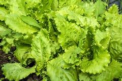 Jonge, groene salade op een bedclose-up Stock Foto's