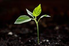 Jonge groene spruit stock foto's