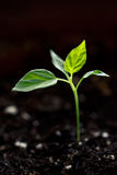 Jonge groene spruit royalty-vrije stock afbeeldingen