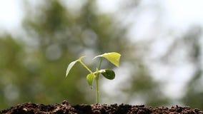 Jonge groene spruit die zich van wind bewegen stock video