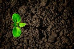 Jonge groene spruit met waterdaling het groeien van grond gedeeltelijk in schaduw en gedeeltelijk in licht, milieuconcept stock foto's