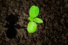 Jonge groene spruit met waterdaling het groeien van grond gedeeltelijk in schaduw en gedeeltelijk in licht, milieuconcept stock foto