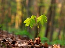Jonge groene spruit van boom het groeien op bosachtergrond royalty-vrije stock foto