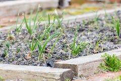 Jonge groene spruiten van groene uien in de tuin in de lente Royalty-vrije Stock Fotografie