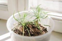 Jonge groene spruiten van pijnboom in plastic pot op venster royalty-vrije stock fotografie