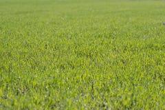 Jonge groene tarwe. Royalty-vrije Stock Fotografie