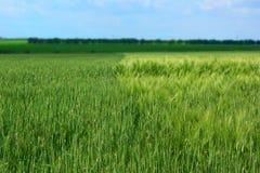 Jonge groene tarwe en gerstgebieden die en op het verlaten landbouwgebied met de blauwe hemelachtergrond doorweven overlappen royalty-vrije stock afbeeldingen