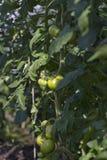Jonge groene tomaten. Royalty-vrije Stock Afbeelding