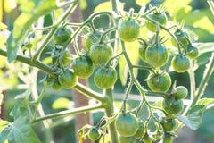 Jonge groene tomaten bij zonnestraal royalty-vrije stock afbeelding
