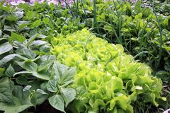 Jonge groente in het huistuin van het land stock foto