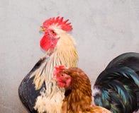 Jonge haan en kip Stock Fotografie