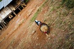 Jonge haan, Laos royalty-vrije stock fotografie