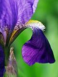 Jonge haan purpere bloem, bloei Royalty-vrije Stock Foto