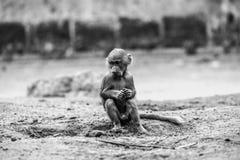 Jonge Hamadryas-baviaan (Papio-hamadryas) Stock Afbeelding