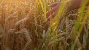 Jonge handen wat betreft tarwe in de gouden zonsondergang stock footage