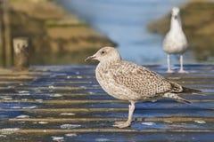 Jonge haringenmeeuwen die (Larus Argentatus) zich op een kleine houten brug bevinden Royalty-vrije Stock Foto's