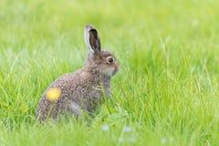 Jonge hazenzitting in diep gras stock afbeelding