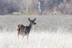 Jonge herten die zich op een droogte uitgedroogd gebied bevinden Royalty-vrije Stock Afbeeldingen